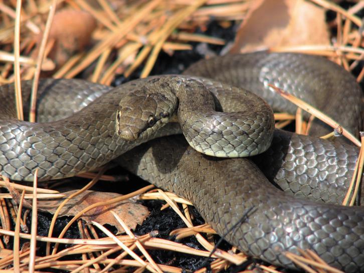 Змеи удмуртии фото с названиями